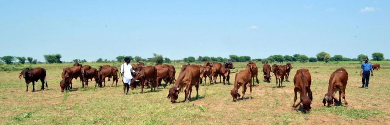 Desi Cow Milk In Hyderabad   Desi cow milk Hyderabad   svs