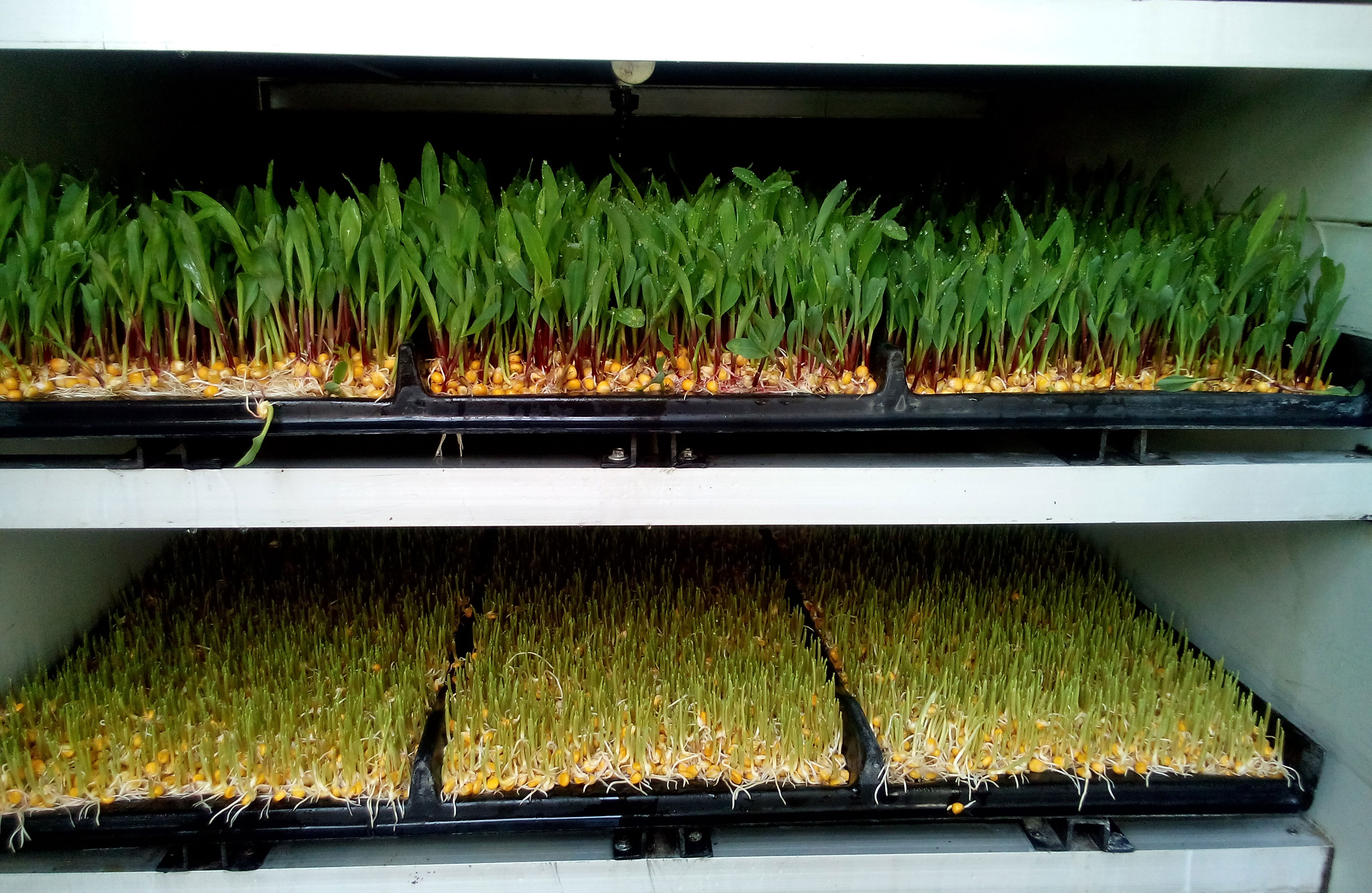how to grow grass fodder hydroponically